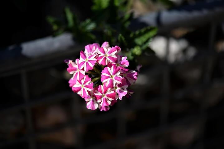 Květ petúnie